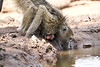 Baby_Baboon_Drinking_Pond_Delivery_Mashatu_2019_Botswana_0009