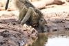 Baby_Baboon_Drinking_Pond_Delivery_Mashatu_2019_Botswana_0015