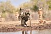 Baby_Baboon_Drinking_Pond_Delivery_Mashatu_2019_Botswana_0024
