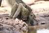Baby_Baboon_Drinking_Pond_Delivery_Mashatu_2019_Botswana_0011