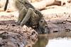 Baby_Baboon_Drinking_Pond_Delivery_Mashatu_2019_Botswana_0012