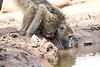 Baby_Baboon_Drinking_Pond_Delivery_Mashatu_2019_Botswana_0008