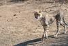 Cheetah_Adult_Mashatu_2019_Botswana_0033