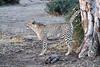 Cheetah_Adult_Mashatu_2019_Botswana_0024