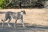 Cheetah_Adult_Mashatu_2019_Botswana_0030