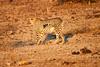 Cheetah_Adult_Mashatu_2019_Botswana_0021