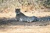 Cheetah_Adult_Mashatu_2019_Botswana_0027