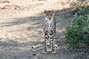 Cheetah_Adult_Mashatu_2019_Botswana_0036