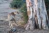 Cheetah_Adult_Mashatu_2019_Botswana_0025