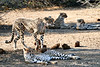 Cheetah_Adult_Mashatu_2019_Botswana_0029
