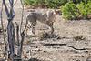 Cheetah_Adult_Mashatu_2019_Botswana_0037
