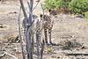 Cheetah_Adult_Mashatu_2019_Botswana_0039
