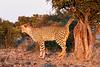 Cheetah_Adult_Mashatu_2019_Botswana_0022
