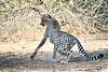 Cheetah_Adult_Mashatu_2019_Botswana_0028