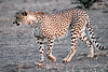 Cheetah_Adult_Mashatu_2019_Botswana_0023