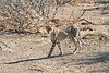 Cheetah_Adult_Mashatu_2019_Botswana_0034