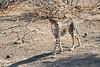 Cheetah_Adult_Mashatu_2019_Botswana_0032