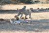 Cheetah_Adult_Mashatu_2019_Botswana_0031