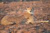 Cheetah_Adult_Mashatu_2019_Botswana_0020