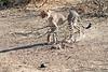 Cheetah_Adult_Mashatu_2019_Botswana_0035