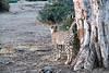 Cheetah_Adult_Mashatu_2019_Botswana_0026