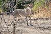 Cheetah_Adult_Mashatu_2019_Botswana_0038