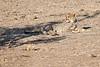 Cheetah_Cubs_Mashatu_2019_Botswana_0016