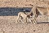 Cheetah_Cubs_Mashatu_2019_Botswana_0004