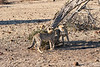 Cheetah_Cubs_Mashatu_2019_Botswana_0011