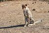 Cheetah_Cubs_Mashatu_2019_Botswana_0002