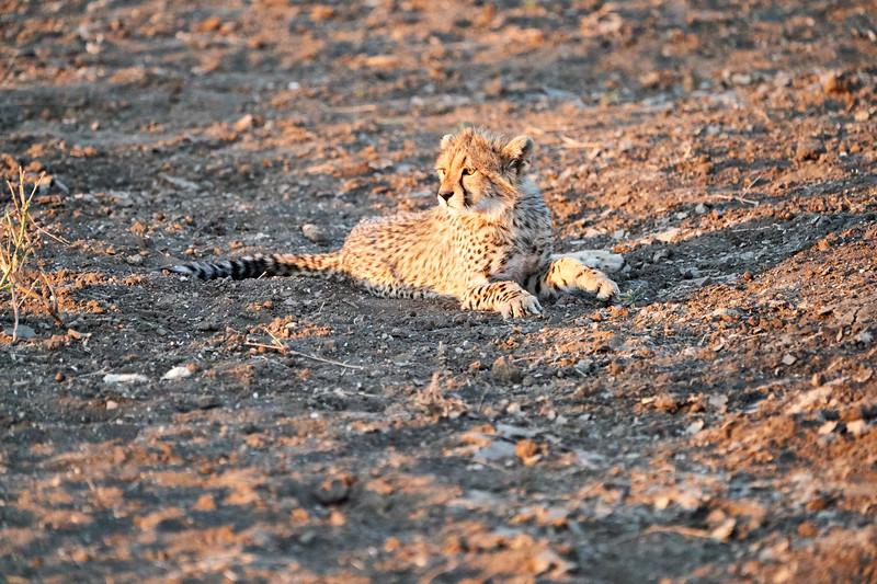 Cheetah_Cubs_Mashatu_2019_Botswana_0001