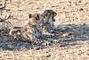Cheetah_Cubs_Mashatu_2019_Botswana_0018