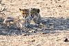 Cheetah_Cubs_Mashatu_2019_Botswana_0020