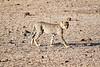 Cheetah_Cubs_Mashatu_2019_Botswana_0005