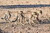 Cheetah_Cubs_Mashatu_2019_Botswana_0010