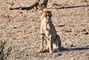 Cheetah_Cubs_Mashatu_2019_Botswana_0014