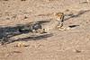 Cheetah_Cubs_Mashatu_2019_Botswana_0015