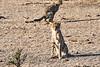 Cheetah_Cubs_Mashatu_2019_Botswana_0013