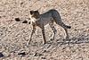 Cheetah_Cubs_Mashatu_2019_Botswana_0008