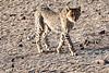 Cheetah_Cubs_Mashatu_2019_Botswana_0009