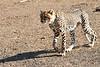Cheetah_Cubs_Mashatu_2019_Botswana_0003
