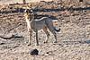 Cheetah_Cubs_Mashatu_2019_Botswana_0007