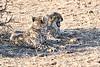 Cheetah_Cubs_Mashatu_2019_Botswana_0017