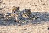 Cheetah_Cubs_Mashatu_2019_Botswana_0019