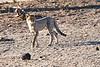 Cheetah_Cubs_Mashatu_2019_Botswana_0006