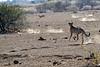Cheetah_Jackal_Chase_Mashatu_2019_Botswana_0029