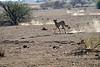 Cheetah_Jackal_Chase_Mashatu_2019_Botswana_0032