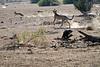 Cheetah_Jackal_Chase_Mashatu_2019_Botswana_0010