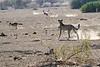 Cheetah_Jackal_Chase_Mashatu_2019_Botswana_0021