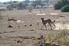 Cheetah_Jackal_Chase_Mashatu_2019_Botswana_0023